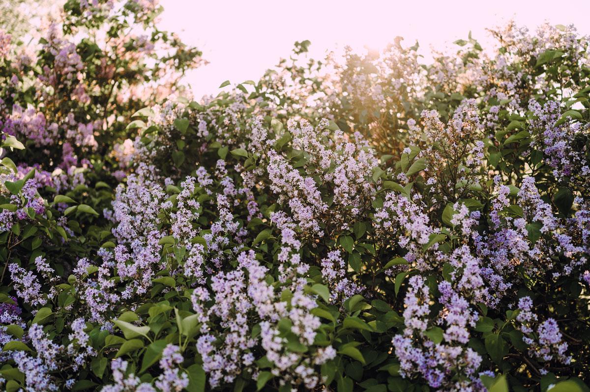 wiosenna-sesja-w-bzach-naturalna-fotografia-Bydgoszcz-Swietliste-fotografujemy-emocje-zdjecia-narzeczenskie-Asia-Pawel-009